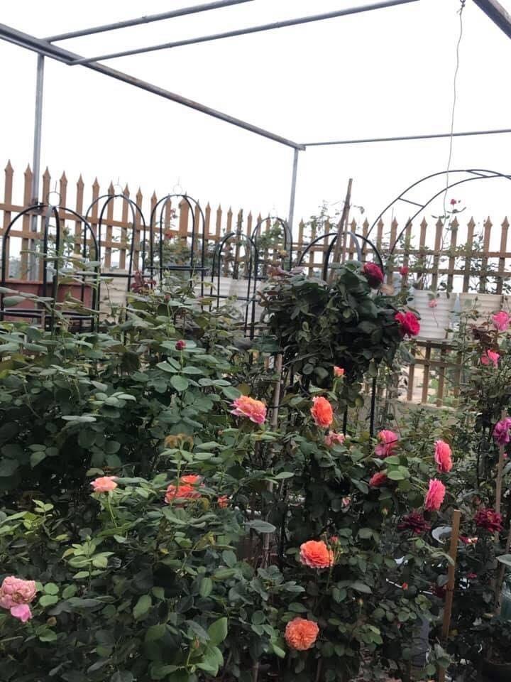 Sân thượng nhỏ chứa cả trăm gốc hồng đẹp mê hoặc của mẹ ba con ở Hà Nội-1