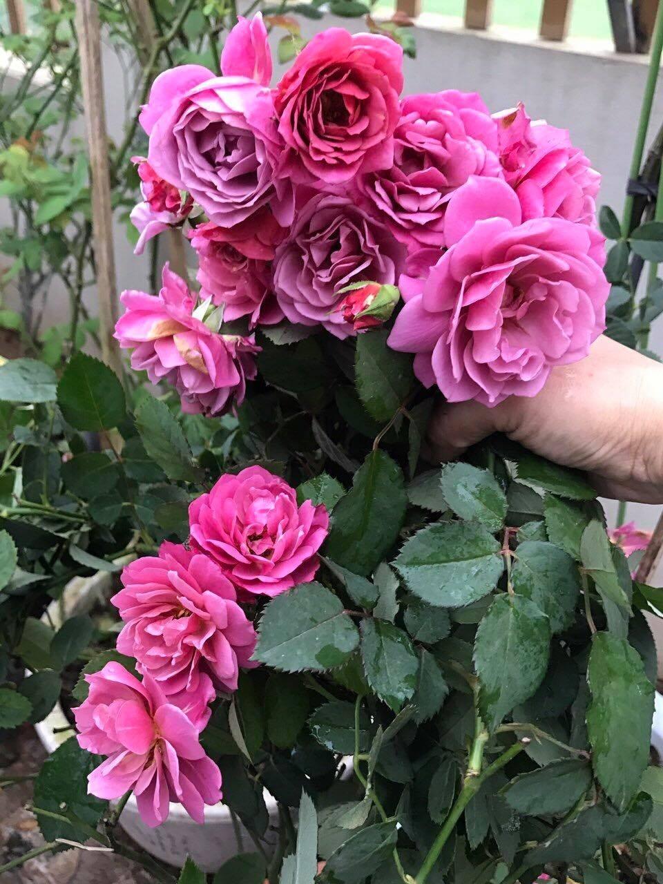 Sân thượng nhỏ chứa cả trăm gốc hồng đẹp mê hoặc của mẹ ba con ở Hà Nội-10