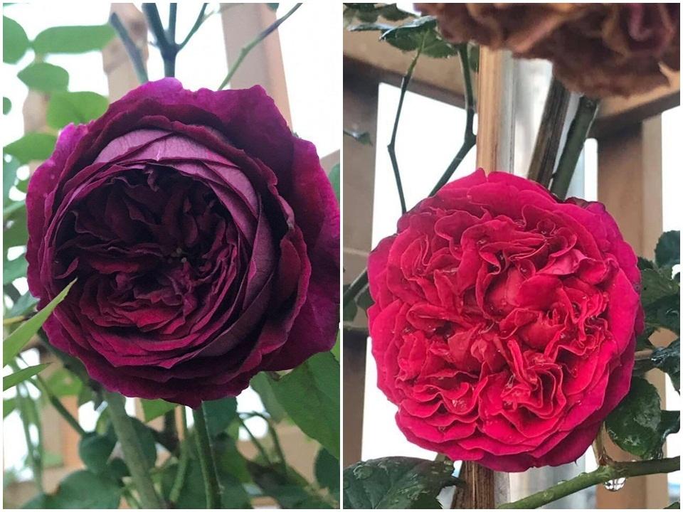 Sân thượng nhỏ chứa cả trăm gốc hồng đẹp mê hoặc của mẹ ba con ở Hà Nội-14
