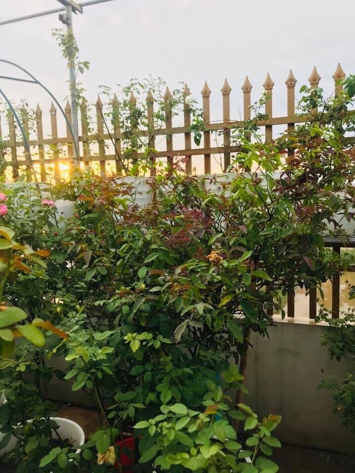 Sân thượng nhỏ chứa cả trăm gốc hồng đẹp mê hoặc của mẹ ba con ở Hà Nội-3