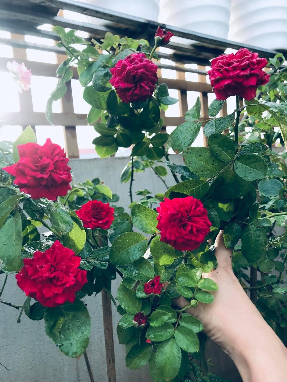 Sân thượng nhỏ chứa cả trăm gốc hồng đẹp mê hoặc của mẹ ba con ở Hà Nội-9