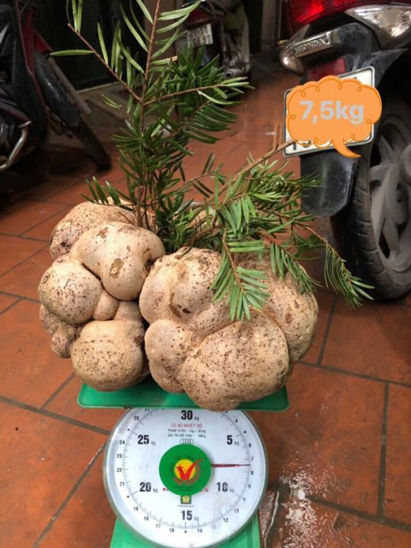Vì sao một cây nấm giá 10 triệu đồng, người Việt vẫn đổ tiền mua?-2