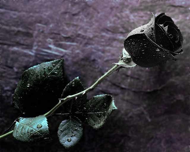 Nơi duy nhất trên thế giới tồn tại hoa hồng đen huyền bí-4