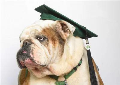 Mải mê chụp ảnh với đám bạn, nữ sinh vô ý bị chú chó Bull Anh cắn rách bằng tốt nghiệp-5