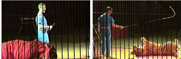 Nhà huấn luyện thú nổi tiếng thế giới bị 4 con hổ vồ chết, đồng nghiệp đứng nhìn 30 phút mà không thể cứu được-2