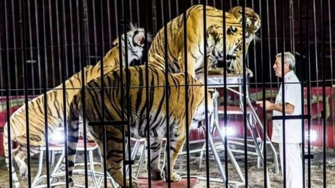 Nhà huấn luyện thú nổi tiếng thế giới bị 4 con hổ vồ chết, đồng nghiệp đứng nhìn 30 phút mà không thể cứu được-1