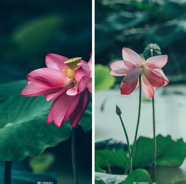 Hiếm có: Hoa sen ngủ yên trăm năm trong vườn vua nhà Thanh bất ngờ nở rộ khiến dân tình ồ ạt đến săn ảnh đẹp-1