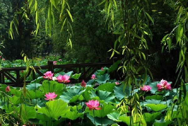 Hiếm có: Hoa sen ngủ yên trăm năm trong vườn vua nhà Thanh bất ngờ nở rộ khiến dân tình ồ ạt đến săn ảnh đẹp-3