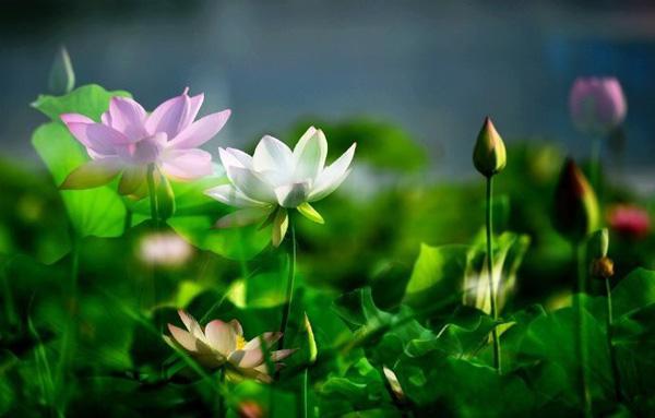 Hiếm có: Hoa sen ngủ yên trăm năm trong vườn vua nhà Thanh bất ngờ nở rộ khiến dân tình ồ ạt đến săn ảnh đẹp-4