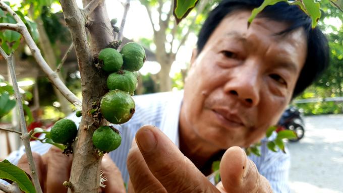 Xôn xao nho lạ Cần Thơ: Thân giống cây ổi, quả lại giống trái sung-1
