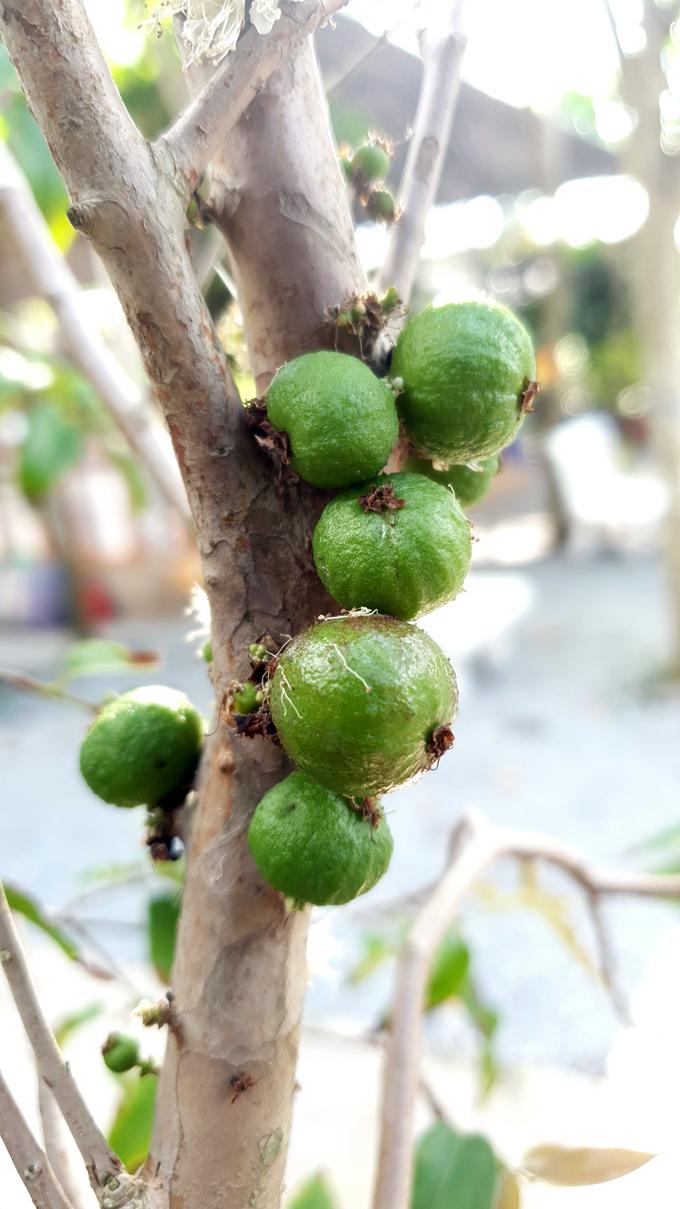 Xôn xao nho lạ Cần Thơ: Thân giống cây ổi, quả lại giống trái sung-2