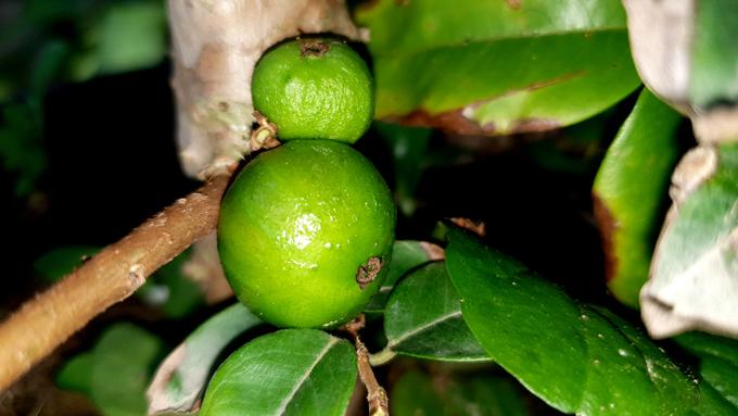 Xôn xao nho lạ Cần Thơ: Thân giống cây ổi, quả lại giống trái sung-3