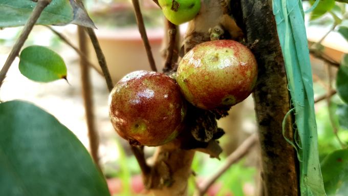 Xôn xao nho lạ Cần Thơ: Thân giống cây ổi, quả lại giống trái sung-5