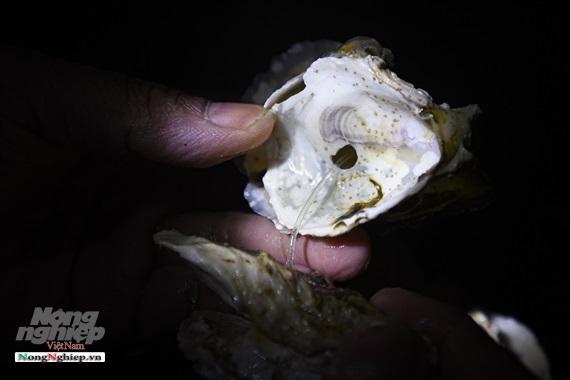 Con đặc sản viagra từ biển Thái Bình Dương từ kính hiển vi lên bàn ăn-4