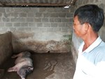 Mắc màn cho lợn, đàn heo hiếm hoi thoát kiếp nạn chết triệu con-3
