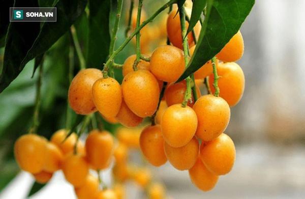Quất hồng bì: Ở Việt Nam chỉ là quả dại, sang TQ hóa trái cây vàng-3