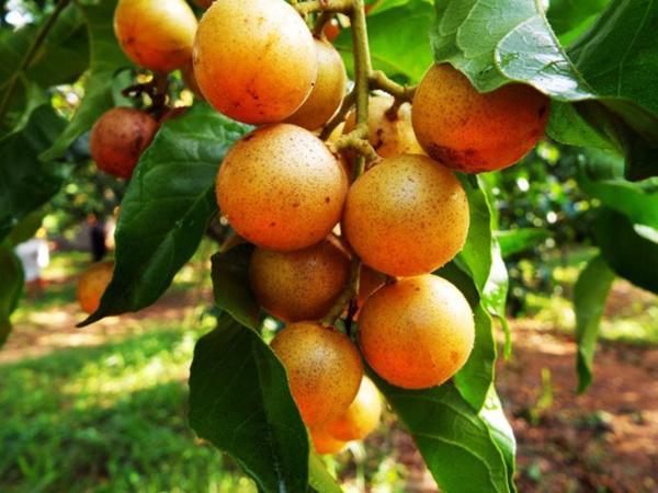 Quất hồng bì: Ở Việt Nam chỉ là quả dại, sang TQ hóa trái cây vàng-4