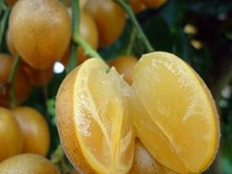 Quất hồng bì: Ở Việt Nam chỉ là quả dại, sang TQ hóa 'trái cây vàng'