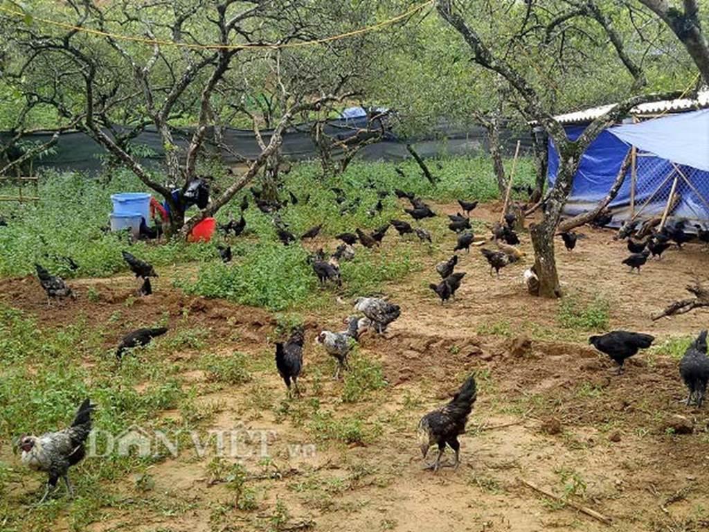 Ngậm ngùi cất bằng đại học về nuôi loài gà đen ngòm thích leo cây-4
