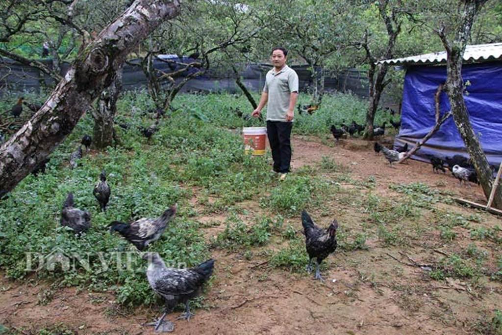 Ngậm ngùi cất bằng đại học về nuôi loài gà đen ngòm thích leo cây-6