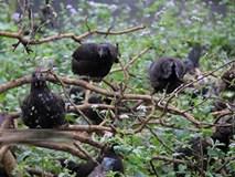 Ngậm ngùi cất bằng đại học về nuôi loài gà đen ngòm thích leo cây