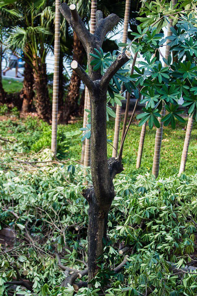 """Hà Nội: Chuyển 100 cây hoa sữa từ hồ Tây lên bãi rác Nam Sơn để khử"""" mùi rác, giải thoát"""" mùi hoa cho người dân-3"""
