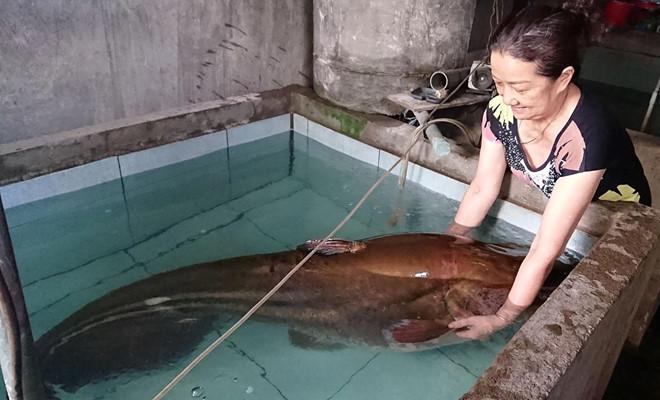 Cá leo 'khủng' nặng hơn 80kg, dài hơn 2m sa lưới ngư dân-1