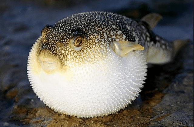 Có thể gây chết người, tại sao cá Nóc vẫn là món ăn đắt đỏ?-1