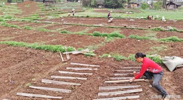 Nông dân trồng rễ cây biến sắc, bán gần 40 nghìn nửa cân-2