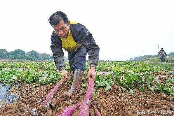 Nông dân trồng rễ cây biến sắc, bán gần 40 nghìn nửa cân-3