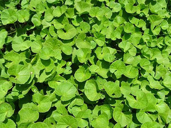 Loại rau mọc dại ở Việt Nam lại là thần dược ma thuật của người Ấn Độ-1
