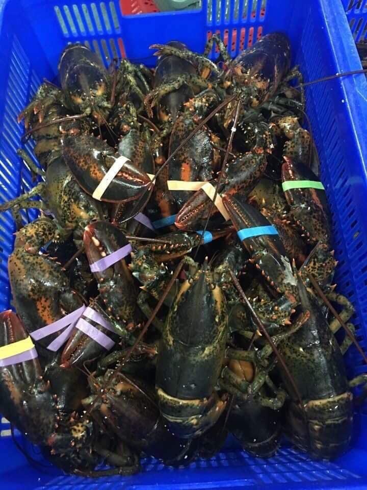 Tôm hùm Alaska về Việt Nam 170 ngàn/kg, rẻ giật mình như tôm ngoài chợ-1