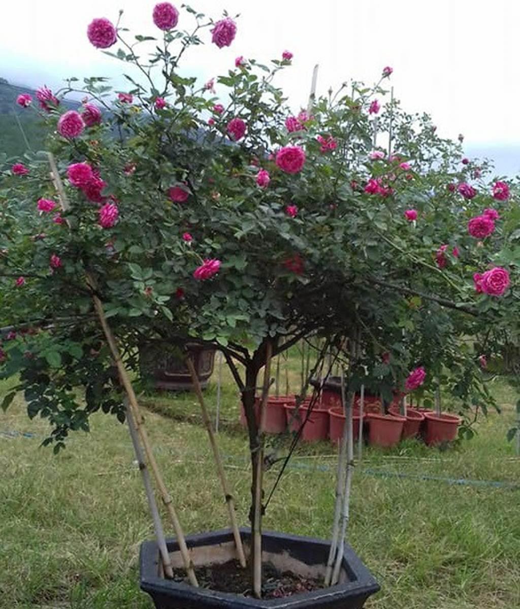 Chàng trai sở hữu vườn hoa hồng có chậu bán đến 150 triệu đồng-5
