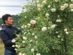 Vườn hoa hồng ngoại khủng 2 vạn cây của U60 ở làng hoa Xuân Quan-9