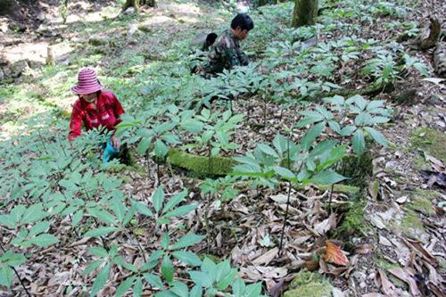 Giàu nhất vùng, tỷ phú Cadong trồng 10ha sâm Ngọc Linh trên rừng-1