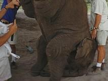 Con voi bị đánh đập suốt 12 năm vẫn phải đi khắp nơi diễn xiếc