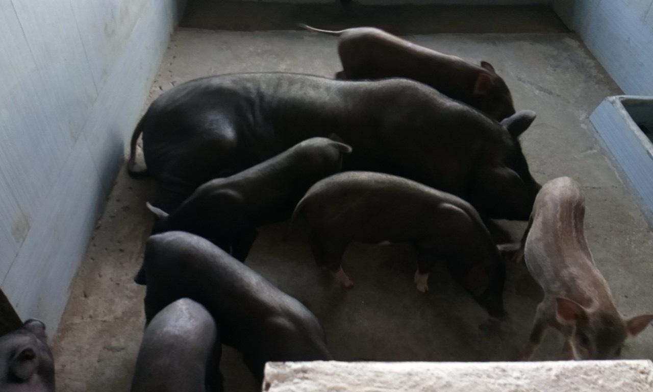 Mắc màn cho lợn, đàn heo hiếm hoi thoát kiếp nạn chết triệu con-2