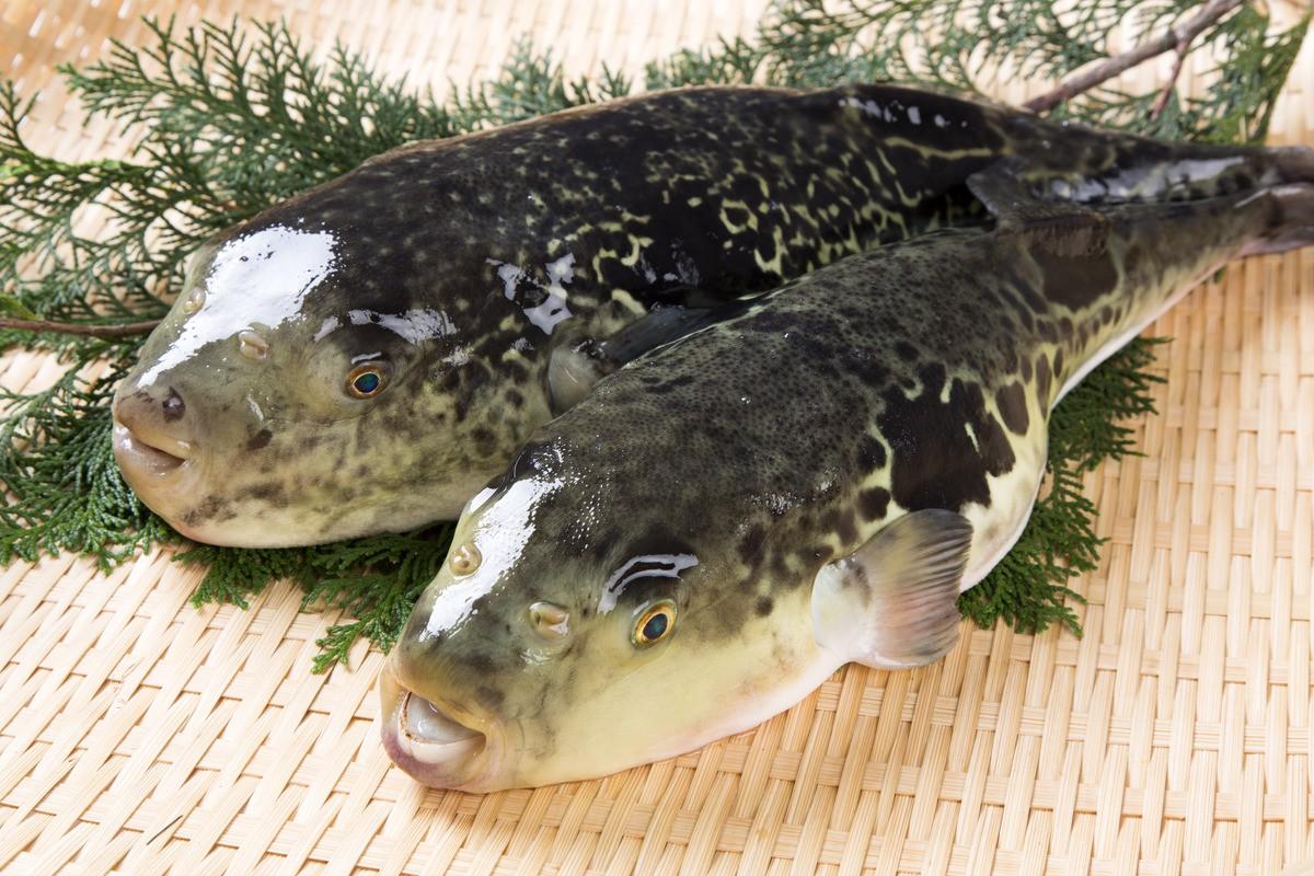 7,5 triệu đồng/100g thịt, ai mà ngờ loại cá vừa xấu xí vừa cực độc này lại đáng giá ở Nhật Bản đến thế-3