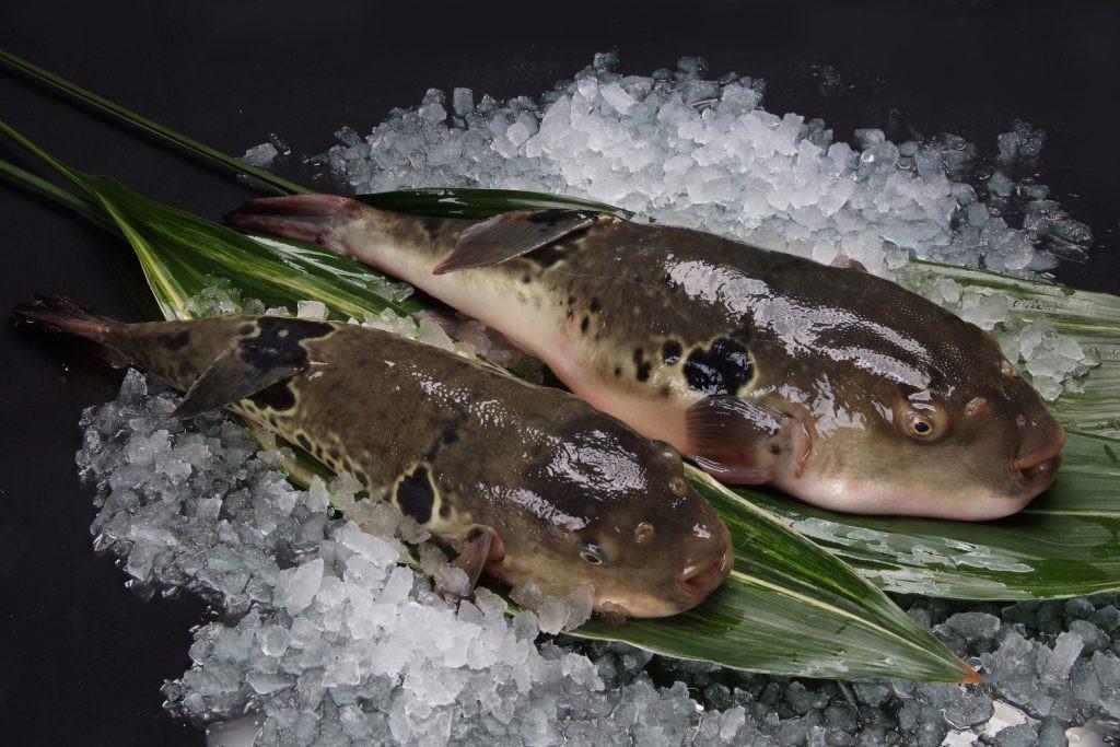 7,5 triệu đồng/100g thịt, ai mà ngờ loại cá vừa xấu xí vừa cực độc này lại đáng giá ở Nhật Bản đến thế-8