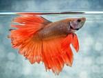 Trai Sài thành nuôi cá dĩa bán sang Tây, có cặp giá như vàng-3