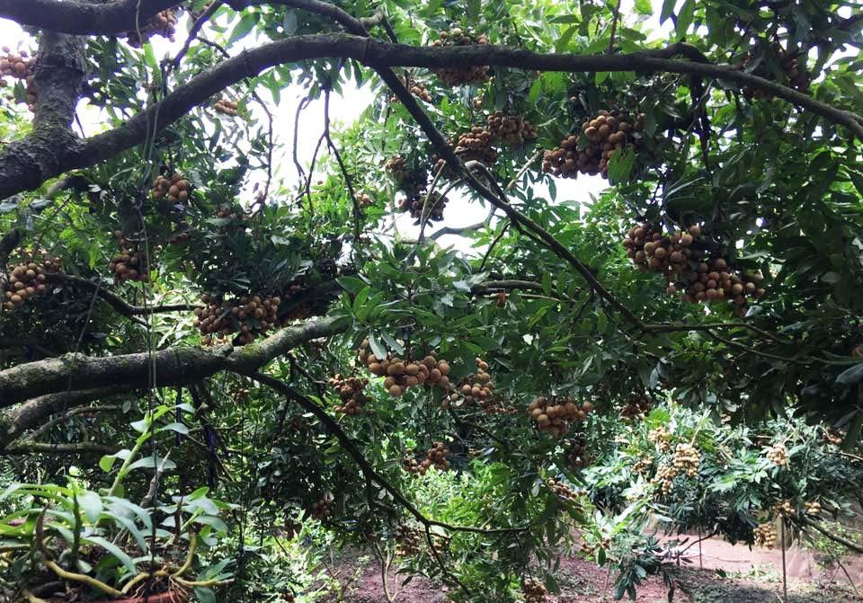Bao trọn cây nhãn tiến vua hiếm có, tự hái ăn cả mùa quá đã-1
