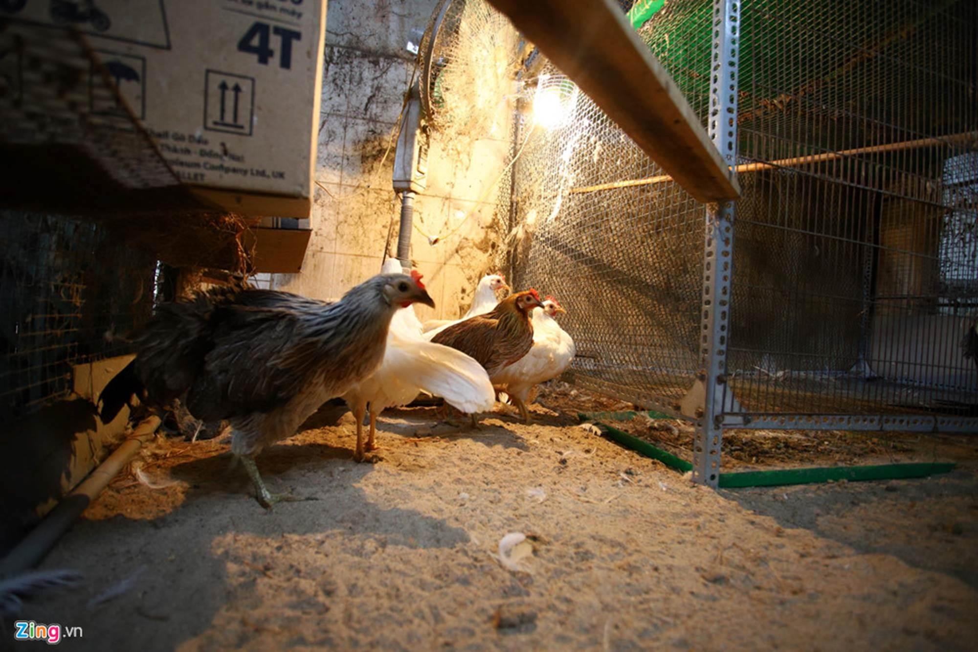 Bán gà đo đuôi tính tiền, giá trăm triệu mỗi con ở Tây Ninh-9