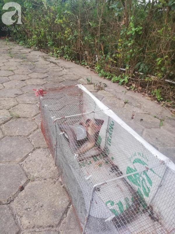 Cận cảnh bẫy rắn hổ mang chúa dài hàng mét, từng tấn công người đi đường tại khu đô thị Hà Nội-1