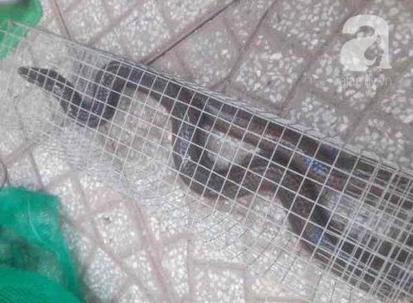 Cận cảnh bẫy rắn hổ mang chúa dài hàng mét, từng tấn công người đi đường tại khu đô thị Hà Nội-7