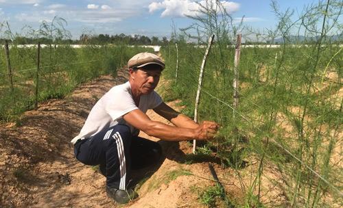 """Gã khùng"""" mát tay trồng măng tây trên cát, 1 tháng lãi 100 triệu-1"""