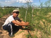"""Gã """"khùng"""" mát tay trồng măng tây trên cát, 1 tháng lãi 100 triệu"""
