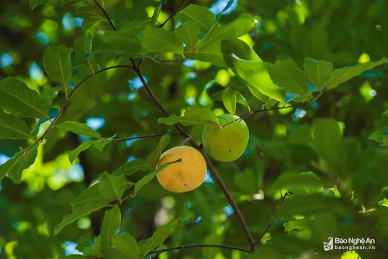 Cụ thị khủng 200 tuổi vẫn đẻ sòn sòn trái chín vàng, thơm nức-4