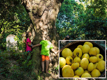 'Cụ' thị khủng 200 tuổi vẫn 'đẻ sòn sòn' trái chín vàng, thơm nức