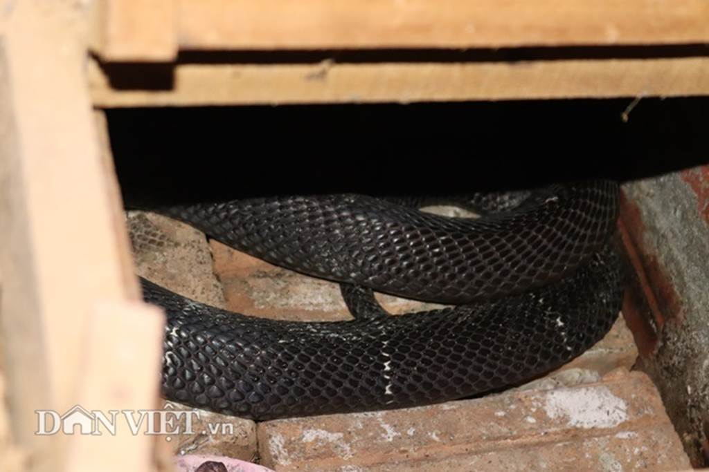 Ớn lạnh người đàn ông nuôi 1.000 con mãng xà cực độc ở Lào Cai-8
