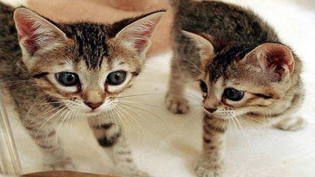 Hơn 800 triệu cho một con mèo nhân bản tại Trung Quốc-1
